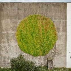 Urban artist SpY partly prunes climber forming a circle on a wall. The main branches were saved to ensure new growth.