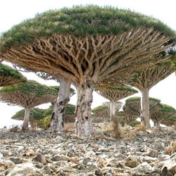 Amazing photos of Socotra Island, located off the coasts of Somalia and Yemen. The tree above is called a Dragon's Blood Tree, and the island features around 700 rare species of flora and fauna, 1/3 of which are found nowhere else on earth.