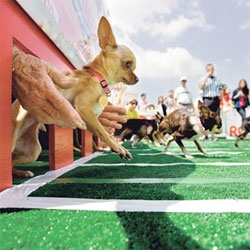 I love this amazing photograph by Dustin Snipes of chihuahuas racing.
