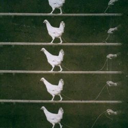 Early Years of Seeing the Unseen - Fragment of a Chronometric filmstrip of a running hen, 1894
