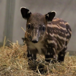 This adorable baby Baird's tapir calf at the Nashville Zoo was born during last week's torrential flooding.