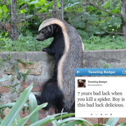 Meet BG - The Joburg Zoo's mascot and world's first live tweeting Honey Badger. Follow his badgery adventures @zootweetslive