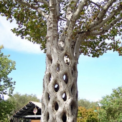 "This ""basket tree"" was created by arbor-sculptor Axel Erlandson more than half a century ago. It's part of  ""Tree Circus "" opened in 1947 in California. Read the amazing story and see the rest of the ""circus trees"""