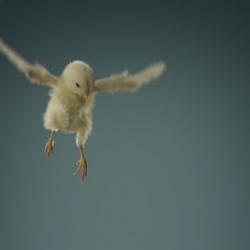 Little chicks' first attempt to fly in slow motion for this PETA ad - cute until the end.