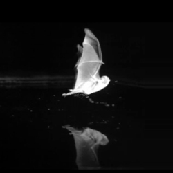 Video footage shows young bats attempting to drink from a smooth metal surface in the same way they would from a pond or river. (Innate recognition of water bodies) Research by Stefan Grief and Bjorn M. Siemers.