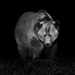 Grizzly Bear photograph by Canadian photographer Troy Moth.