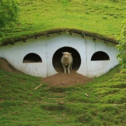 Cute little lambs have taken over Bilbo and Frodo Baggins' hobbit home.