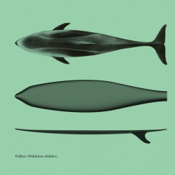 Surfph-o-Morph, design by Giulio Iacchetti. The idea is to draw on the morphology of large fish and cetaceans to ensure an optimal performance in terms of fluid dynamics.