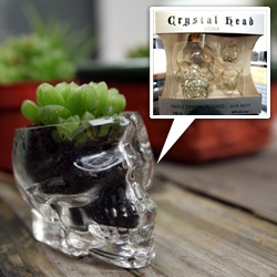 Crystal Head Vodka gift set has little skull shot glasses! Which are pretty big for shots ~ and perfect for Skulculents! Couldn't resist planting some adorable succulents in mine!