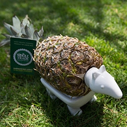 """Whole Foods says Happy Earth Day with a TALKING Pineapple Armadillo """"Earthling Ambassador"""" made of ceramic and electronics that just arrived... see the video of him in action."""