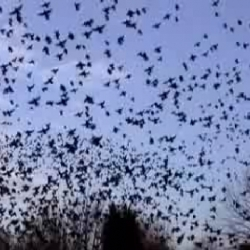 Thousands of starlings almost take down a tree over and over again.