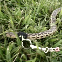SNAKE WALKING! Snake leashes with lots of videos.