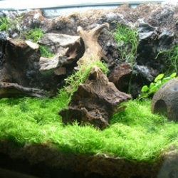 Brian's Tropicals shows you how to make the most incredibly mossy terrariums for tropical tree frogs! His basement setups for frogs an fish are mind boggling