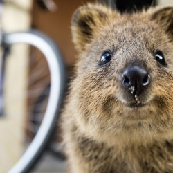 There's a new selfie trend catching on lately and it may be the cutest and happiest yet: the 'Quokka Selfie'.