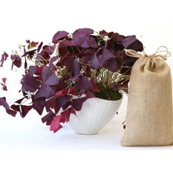 "Beautiful high-fired stoneware ""Pinch Bowl"" by Jonathan Adler designed to bloom with a bag full of gorgeous Oxalis Triangularis (purple shamrock). Perfect for Mother's Day and Wedding Season."