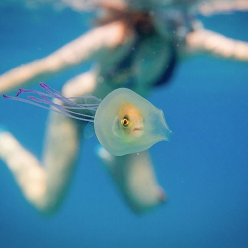 Australian photographer Tim Samuel stumbles upon a fish trapped inside a jellyfish while free diving in Byron Bay in this one a million shot. Gotta love how the fish just keeps swimming!