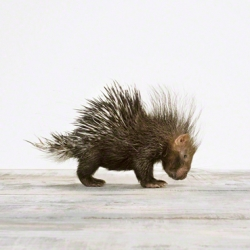 Adorable baby porcupine print from The Animal Print Shop by Sharon Montrose
