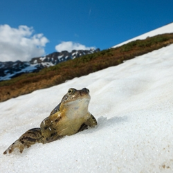 Beautiful shots of the snow frogs of the French Alps, in National Geographic