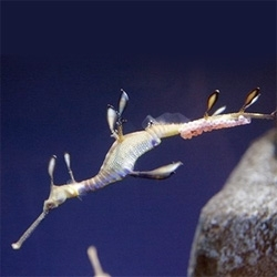 Endangered sea dragon at Ga. aquarium pregnant.