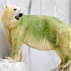 Poor algae dyed polar bears at Higashiyama Zoo in Nagoya, Japan ~ looking so very punk rock now...