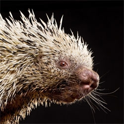 Gorgeous animal portraits by Carli Davidson. This tree porcupine is from the Oregon Zoo series.