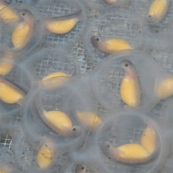 Ozark hellbenders have been successfully bred in captivity for the first time in a collaboration between the Saint Louis Zoo and the Missouri Department of Conservation,