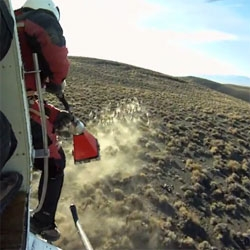 9Caribou filmed the relocation of bighorn sheep in Nevada - an adventure involving helicopters, shotgun-launched nets, a great deal of vertigo and some very quick sheep! All with a rocking soundtrack!