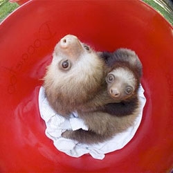 It's bath time for baby sloths!