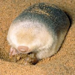 Fascinating new research on the golden mole, the only iridescent mammal may have evolved the iridescent hairs to streamline the moles or repel water, rather than attract a mate.