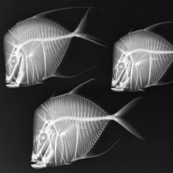 'X-Ray Vision: Fish Inside Out' is a traveling exhibit currently at the Smithsonian National Museum of Natural History in Washington DC.