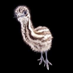 Gorgeous photos of Busch Garden's new emu chicks.