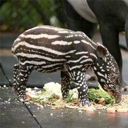 Belfast Zoo's latest addition, a little Malayan tapir that looks like a watermelon with legs!