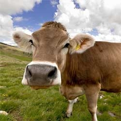 A genetic study of cattle has claimed that all modern domesticated bovines are descended from a single herd of wild ox, which lived 10,500 years ago.