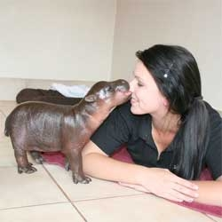 Adorable little pygmy hippo, a new addition at the Cango Wildlife Ranch in South Africa.