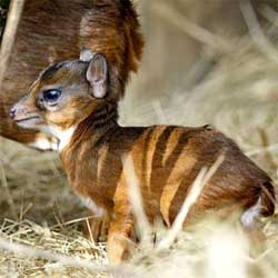 Tampa's Lowry Park Zoo announces the birth of a tiny new baby of the world's smallest antelope species, the Royal Antelope.