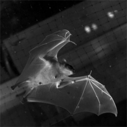 Brown University researchers take a closer look at bat flight and discover that bats fold their wings on the upstroke, saving energy.