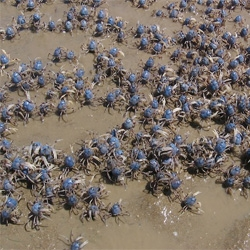 Computer scientists at Kobe University in Japan have built a computer that draws inspiration from the swarming behavior of soldier crabs