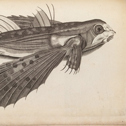 The stunning 'History of fishes', illustrations from Francis Willughby's De historia piscium, 1686. One of many gems from the picture library of The Royal Society.