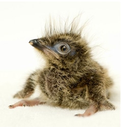 Like a little fluffy dinosaur! it's a two week old Red-legged Seriema at Sea World Orlando.