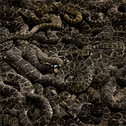 'Rattlesnakes' a photo series by Matt Rainwaters.