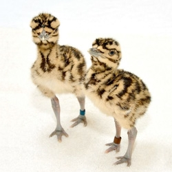 Incredible pattern on these bustard chicks at the National Zoo.