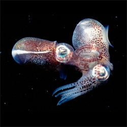 New Scientist on the short sex-filled life of an Australian dumpling squid.