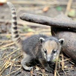 Adorable little baby coatis at Exmoor Zoo.