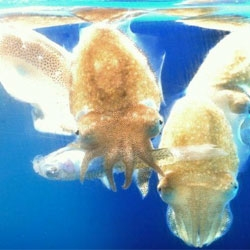 Look at those little tentacles! Adorable baby cuttlefish at Newport Aquarium.