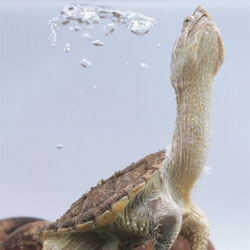 Researchers discover that Chinese soft-shelled turtle urinates through its mouth via gill-like structures.