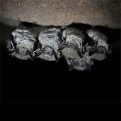 Wired Sciences' 12 amazing facts about bats for Halloween.