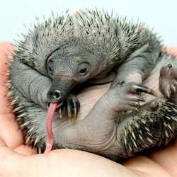 Perth Zoo's baby echidna shows off its incredible tongue.