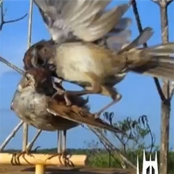 A robotic bird under attack. Duke researchers explore aggressive gestures using a robotic stuffed swamp sparrow in the field.