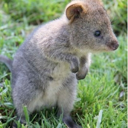 Taronga Zoo's six-month old orphan Quokka joey. At full size, he will only be about the size of a house cat!