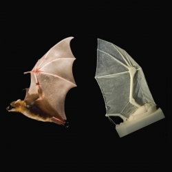 "Brown U. researchers build a ""robatic"" bat wing to better understand the dynamics of bat flight."